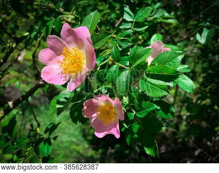 Wild Rose Bush With Blooming Flowers. Close Up Photo Of Pink Dog Rose Also Known As Rose Hip, Briar