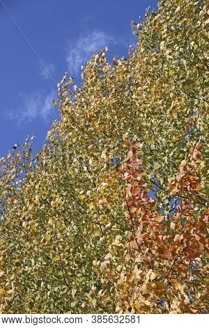 Red And Yellow Leaves Of Aspens Rustling On Tree In Autumn In Forest. Wind Blowing Autumnal Leaves.