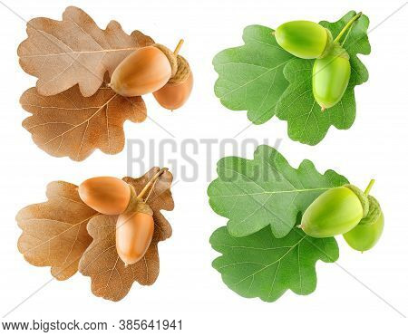 Isolated Oak Tree Branchlets. Summer And Autumn Oak Tree Leaves And Acorns Isolated Collection On Wh