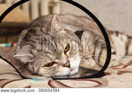 Gray Shorthair Scottish Cat Laying In Cone Collar With Sickly Look. Domestic Pet Disease.