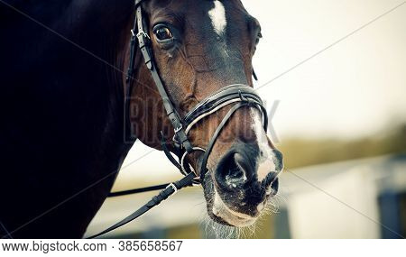 Equestrian Sport. Portrait Sports Stallion In The Bridle. Dressage Of Horses In The Arena. Horse Muz