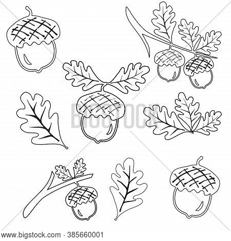 Set Line Oak Branches With Leaves And Acorns Outline, Silhouettes On White Background. Sketch Oak Li