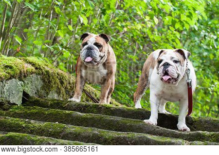 Two English Bulldog Or British Bulldog On The Stairs