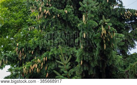 Young Cones On Blue Spruce In Forest. Branches With Cones And Needles On Spruce Growing In Forest. S