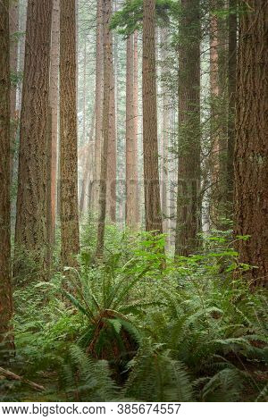 Pacific Northwest Trees And Undergrowth. Tall Trees And A Lush, Temperate Rainforest Floor Of The Pa