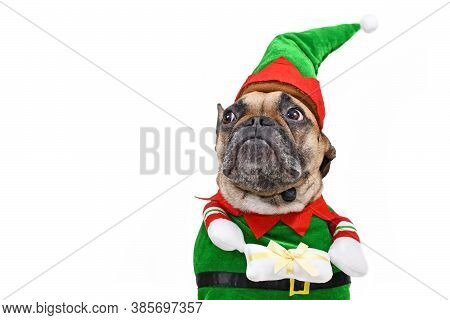 Cute Christmas Elf Dog. A French Bulldog Dog Wearing Traditional Christmas Costume With Arms Holding