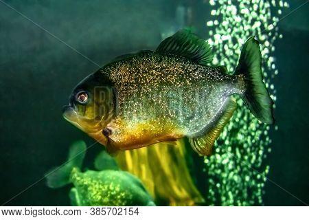 Piranha Close-up Isolated On Green Water Background. Bright Shiny Predatory Fish Serrasalmus Piraya