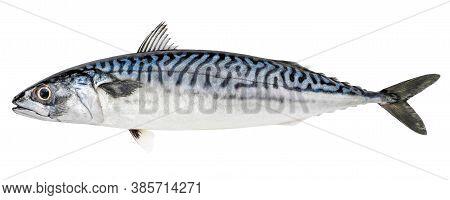 Atlantic Mackerel Fish Isolated On White Background