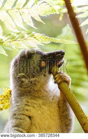 Common Brown Lemur (eulemur Fulvus) Feeding In Top Of The Tree, In Natural Habitat, Andasibe - Anala