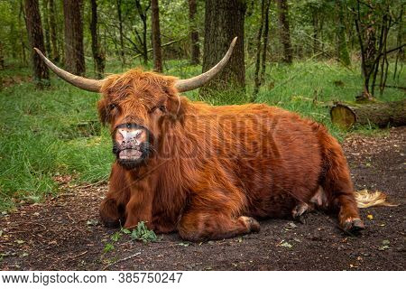 Brown Scottish Highlander Ruminating In The Forest In The Netherlands Region Of Twente, Province Of