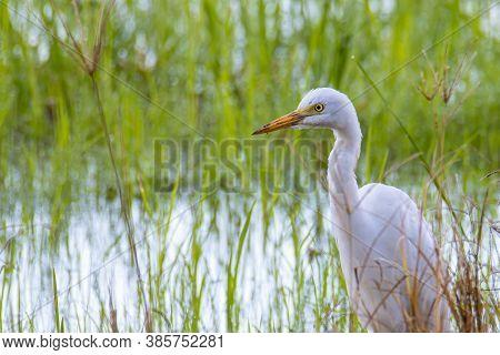 Nature Wildlife Image Of Great Egret Bird Walk On Paddy Field