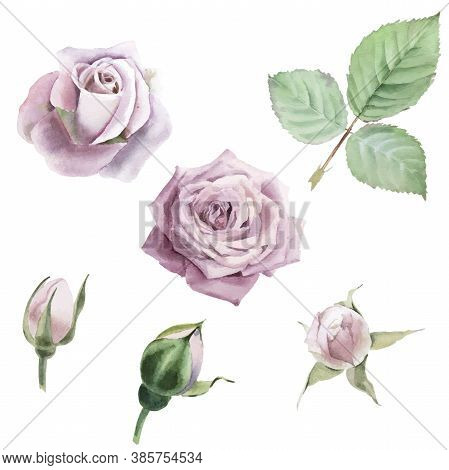 Watercolor Vector Roses Flowers, Buds And Leaf Set On White Background.