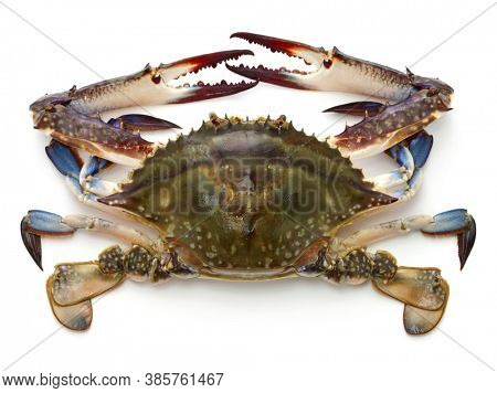 Japanese blue crab called Watarigani in Japan.