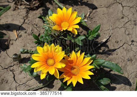 3 Yellowish Orange Flowers Of Gazania Rigens In Mid July