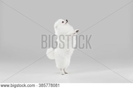 Happy In Motion. Spitz Little Dog Is Posing. Cute Playful White Doggy Or Pet Playing On Grey Studio