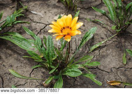 Light Orange Flower Of Gazania Rigens In Mid July