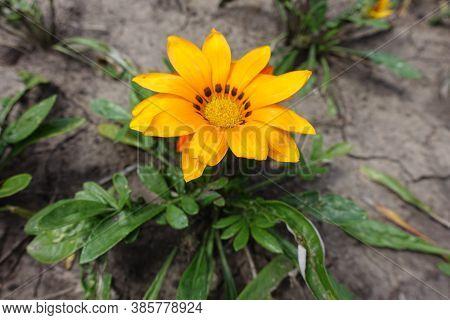 One Orange Flower Of Gazania Rigens In Mid July