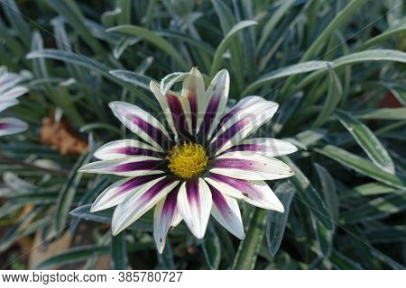 A Flower Of Gazania Rigens 'big Kiss White Flame' In Mid October