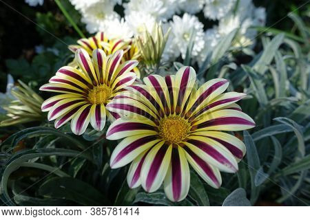 Colorful Flowers Of Gazania Rigens 'big Kiss White Flame' In Mid October