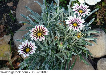 Four Flowers Of Gazania Rigens 'big Kiss White Flame' In Mid October
