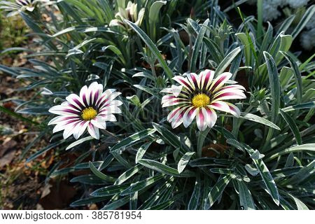 Pair Of Flowers Of Gazania Rigens 'big Kiss White Flame' In Mid October