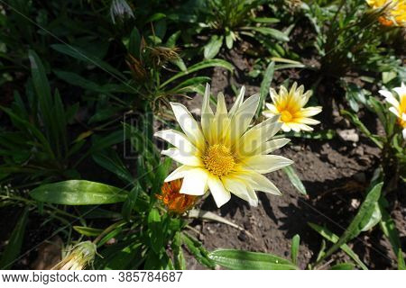 Florescence Of White Gazania Rigens In August