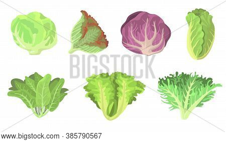 Fresh Salad Leaves Flat Illustration Set. Cartoon Radicchio, Lettuce, Romaine, Kale, Collard, Sorrel