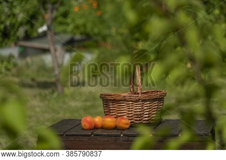 Wicker Basket With Apricot In Sunny Hot Summer Day With Green Garden