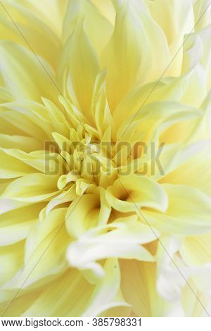 Tender Yellow Kelvin Floodlight Dahlia With Long Triangle Petals. Close Up Photo For Wallpaper Or Po