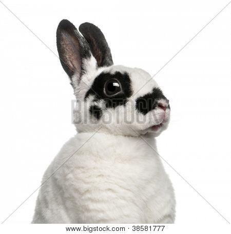 Dalmatian Rabbit against white background