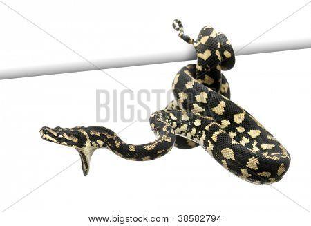 Jungle carpet python attacking, Morelia spilota cheynei against white background
