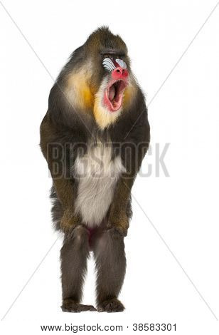 Mandrill standing and shouting, Mandrillus sphinx, 22 years old, primate of the Old World monkey family against white background