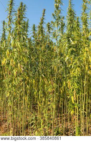 Field Of The Green Cannabis (marijuana) Plants
