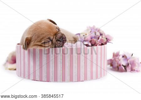Tired 3 Weeks Old Fawn Colored French Bulldog Dog Puppy Sleeping With Eyes Closed In Pink Box On Whi