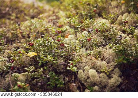 Cowberry And Green Moss. Close Up Of Red Bilberry. Moss And Clusterberry In The Forest.