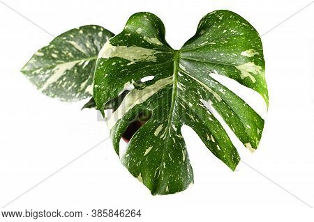 Exotic White Sprinkled Leaf Of Rare Variegated Tropical Plant Caled'monstera Deliciosa Thai Constell