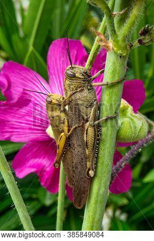 Grasshopper Sitting On A Common Hollyhock In Trpanj, Peljesac, Dalmatia Region, Croatia