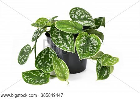 Houseplant Called 'scindapsus Pictus Argyraeus' With Velvet Texture And Silver Spot Pattern Isolated