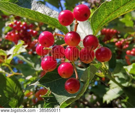 Red, Bright Viburnum Berries On A Branch With Green Leaves After The Rain. Close-up Micro Photo Take