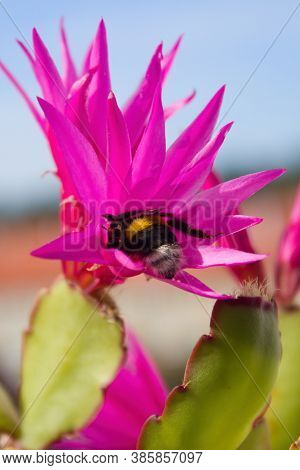 Bumblebee In The Flower Of The Easter Cactus.a Bumblebee Pollinates A Cactus Flower. Bumblebees Fly