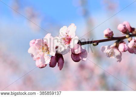 Beautiful Pink Almond Blossom Flower In Bloom On German 'prunus Dulcis',  Subscpecies 'perle Der Wei