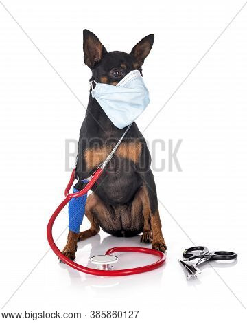 Miniature Pinscher,  In Front Of White Background