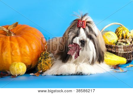 dog breeds shih tzu and pumpkin