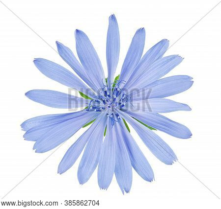 Chicory Flower Isolated On White With Clipping Path