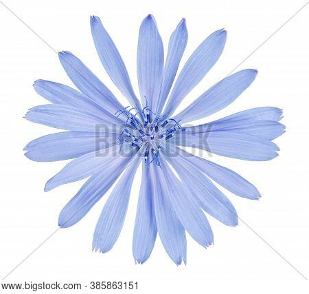 Chicory Flower Isolated On White Background With Clipping Path
