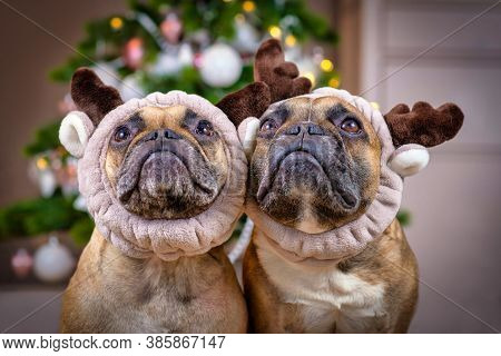 Pair Of Cute Brown French Bulldog Dogs Dressed Up As Reindeers With Plush Antler Headbands In Front