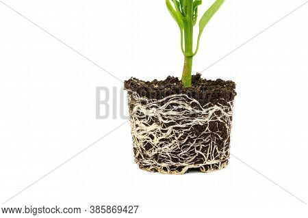 Bell Pepper Seedling With A Well-developed Root System On A White Background. Root Stem Of Pepper Se