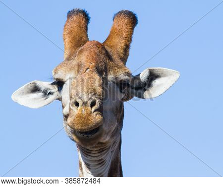 Male Giraffe (giraffa Camelopardalis) Head Closeup Portrait Funny Face Appears To Be Laughing In Sou