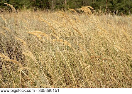 Steppe With Yellow Grass, Dry Rustic Field
