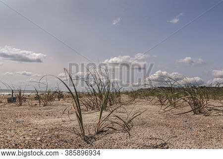 Dune Grass Is Planted Along The Beach In Emerald Isle ,north Carolina To Protect The Dunes Fron Futu